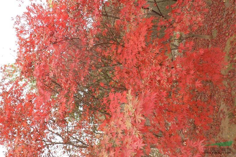 日本红枫十公分